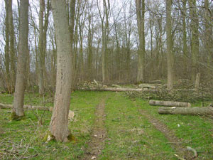 Picture of woodland thinned